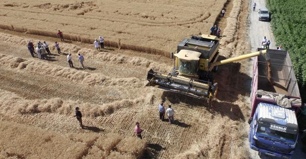 Yerli ve milli buğday Halis Sakarya'da geliştirildi