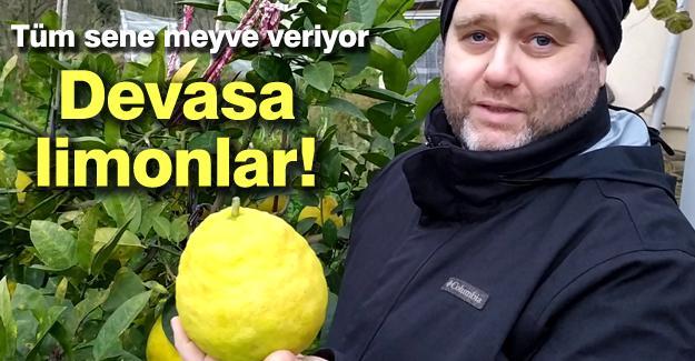 Devasa limonlar!