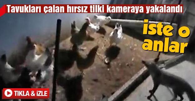 Tavuk hırsızı tilki kameralara yakalandı