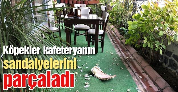 Köpekler kafeteryanın sandalyelerini parçaladı
