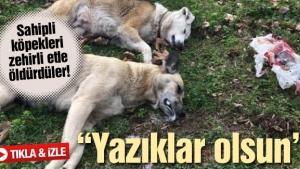 Sahipli köpekleri zehirli etle öldürdüler!